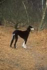 Picture of ch burydown hephzibah, saluki standing in woods