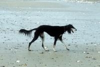 Picture of ch burydown hephzibah, saluki walking on beach