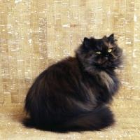 Picture of ch comari persian garden, tortoiseshell cat