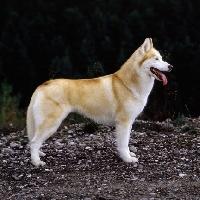 Picture of ch forstal's noushka,  siberian husky standing on stones