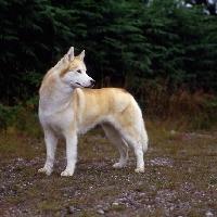 Picture of ch forstal's noushka ,alert siberian husky