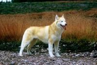 Picture of ch forstal's noushka, siberian husky