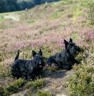 Picture of ch gaywyn viscountess, ch gaywyn titania,  two scottish terriers on heather