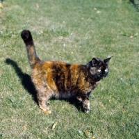 Picture of ch kita's dandelion, tortoiseshell short hair cat