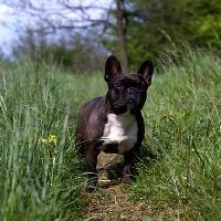 Picture of ch merrowlea opal of boristi,   french bulldog standing in long grass