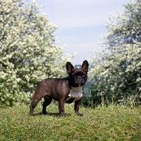 Picture of ch merrowlea opal of boristi, french bulldog standing on grass