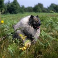 Picture of ch neradmik jupiter,  keeshond in heathland