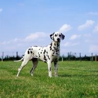 Picture of ch olbiro organdiecollar,  dalmatian standing in a field
