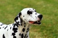 Picture of ch olbiro organdiecollar, dalmatian portrait