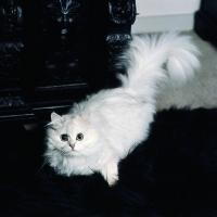 Picture of ch shengo eleiza, chinchilla cat