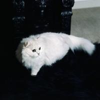 Picture of ch shengo eleiza, chinchilla cat on black sofa