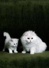 Picture of ch shengo eleiza, chinchilla cat and kitten