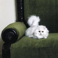Picture of ch shengo eleiza, chinchilla cat,  in a chair