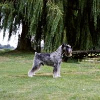 Picture of ch siddleys dutch bargemaster  standard schnauzer on grass