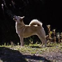 Picture of ch squirreldene bjanka,   norwegian buhund in woods back lit