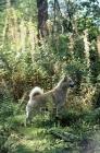 Picture of ch squirreldene bjanka,  norwegian buhund in woods