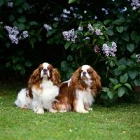 Picture of ch tudorhurst theron, ch tudorhurst ..,  two king charles spaniels