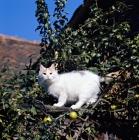 Picture of ch van alanya, turkish van cat up a tree
