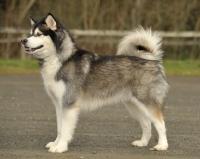 Picture of Champion Alaskan Malamute posed