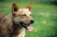 Picture of champion australian cattle dog,  portrait