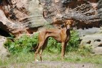 Picture of Champion Azawakh - sighthound of the Touareg