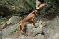 Picture of Champion Azawakh - sighthound of the Tuareg