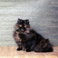 Picture of champion bamboo betula, long hair tortoiseshell cat