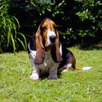 Picture of champion basset hound sitting on grass