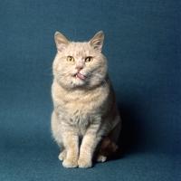 Picture of champion British short hair cream cat licking lips