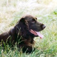 Picture of champion field spaniel head portrait