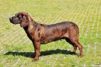 Picture of Champion Hannoverscher Schweißhund