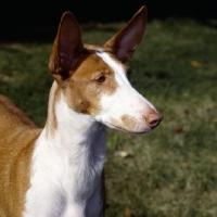 Picture of champion ibizan hound portrait