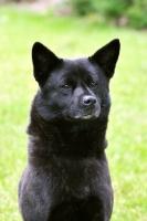 Picture of Champion Japanese Kai dog (aka Tora Inu, Kai Inu, Kai Ken)