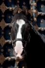 Picture of champion marwari stallion at Rohet Garh, India