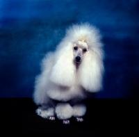 Picture of champion miradel camilla, white miniature poodle in studio