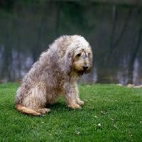 Picture of champion otterhound sitting on grass
