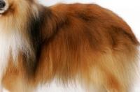 Picture of champion Shetland Sheepdog coat detail
