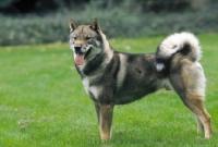 Picture of champion shikoku japanese hunting dog