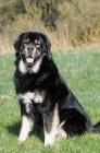 Picture of champion tibetan mastiff looking at camera