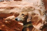 Picture of Chapion Azawakh dog, portrait