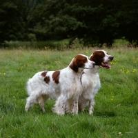 Picture of chardine vari, left, llanelwy hard days night at chardine, dog and bitch irish red and white setter, b.o.b crufts 1987