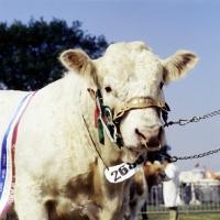 Picture of charolais bull at royal show looking at camera