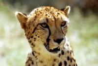 Picture of Cheetah portrait
