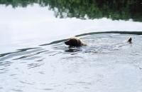 Picture of chesapeake bay retriever swimming