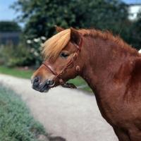 Picture of chestnut shetland pony