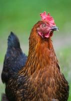 Picture of Chicken portrait