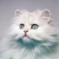 Picture of chinchila cat portrait