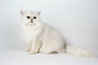 Picture of Chinchilla (aka Persian)