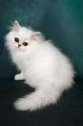 Picture of chinchilla kitten