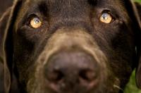 Picture of chocolate labrador portrait